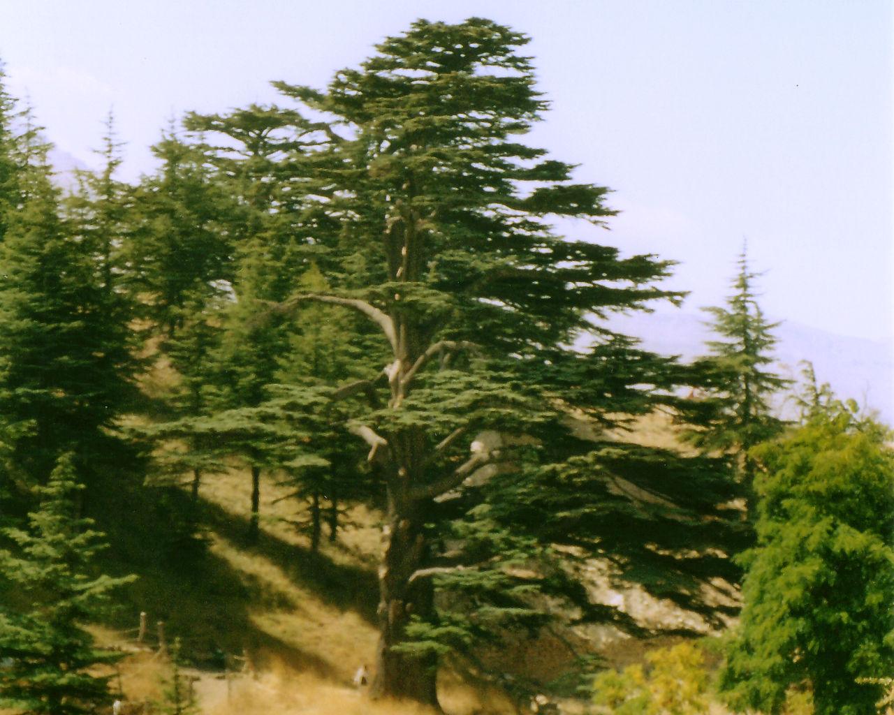 Cedar tree, Bcharré, Lebanon 2002